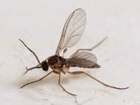 Gnats (Order Diptera) Adult gnats are small long legged winged insects that fly. Fungus gnats live off of live plants and feed on fungi that is growing in the soil. Inspect potted plants and correct moisture. Let landscapes dry before watering again.
