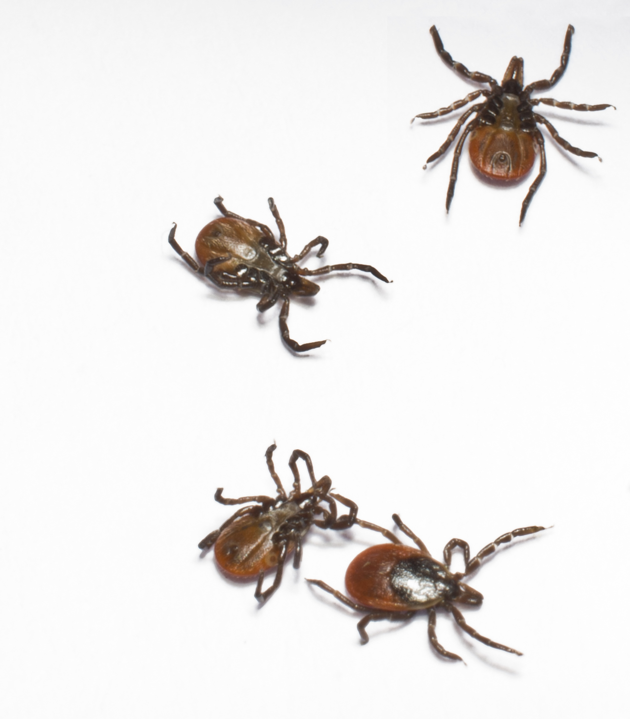 Ticks Ticks are tear dropped shaped, they range from brownish black to grey depending on the species. Immature ticks have six legs, mature ticks have eight legs and they are relatively flat before feeding, some ticks become plump and round after feeding. They are the most common during the warmer months. They move to areas where there are a lot of mammals, ground-dwelling birds, and lizards. Common places are: moist woodlands and areas around the edge of forests with a lot of plants, along forest trails, grassy areas, in and around campgrounds, and in abandoned grassy yards in urban areas.
